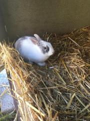 Kaninchen zum Verkauf