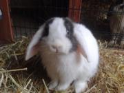 Kaninchen/Zwergwidder abzugeben