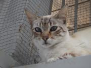 Katze Celta zu