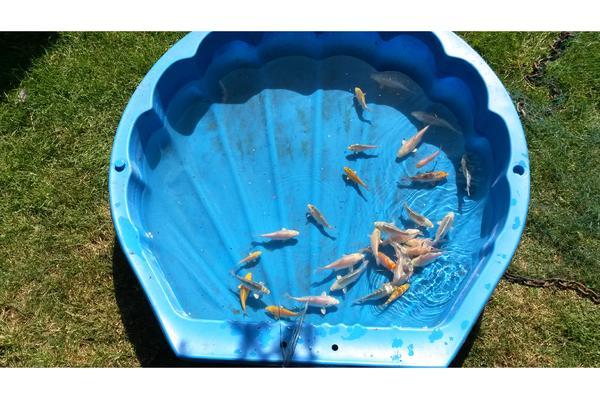 Koi goldfische neu und gebraucht kaufen bei for Koi und goldfische