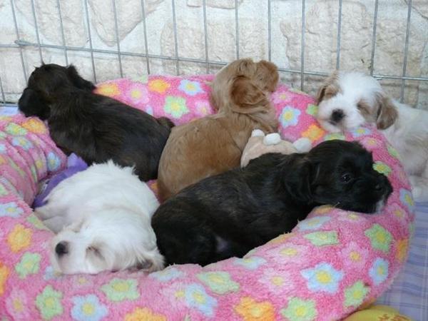kleinhund havaneser welpen in mv abzugeben in putbus hunde kaufen und verkaufen ber private. Black Bedroom Furniture Sets. Home Design Ideas
