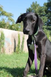 Labrador Mix Junghund