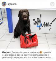 Labrador Retriever DEFINO