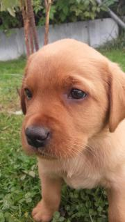 Labrador Welpe foxred
