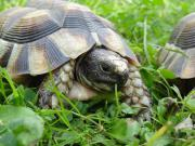 Landschildkröten - Marginata Weissingerie