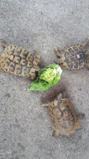 Landschildkröten Schildkröte adult