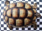 Landschildkröten Testudo marginata