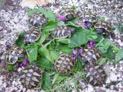 Landschildkröten Thh, herci,