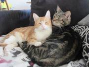 Liebes, verschmustes Katzenpaar