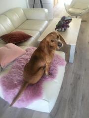 Liebevoller Hund sucht