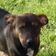 Linus, Dackel-Beagle