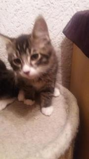 Maine Conn Kitten