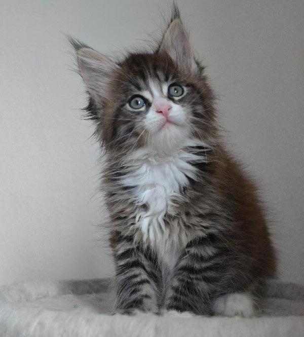 Maine Coon Baby Kater Kitten suchen ein tolles Zuhause in ... Tabby Maine Coon Kitten