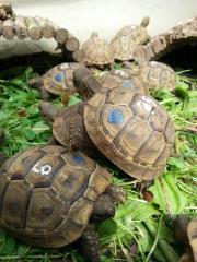 MAURISCHE Landschildkröten von