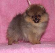 Mini Pomeranian Zwergspitz