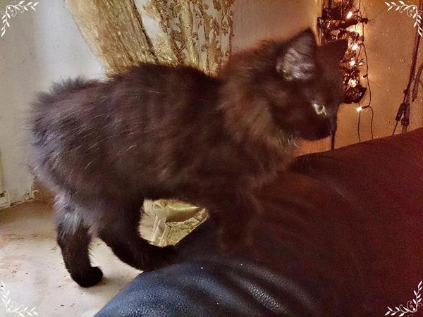 nur noch 1 schwarzes m del reinrassige sibirische waldkatzen d rfen ausziehen in essen. Black Bedroom Furniture Sets. Home Design Ideas