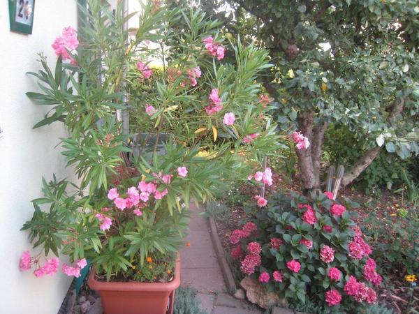 oleander in leipzig pflanzen kaufen und verkaufen ber. Black Bedroom Furniture Sets. Home Design Ideas
