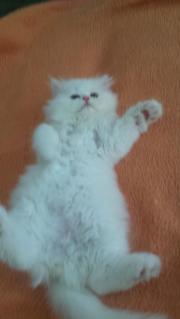 Perser Katzen zu