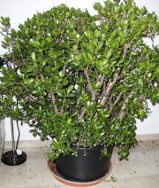 geldbaum pfennigbaum ca pflanzen garten g nstige. Black Bedroom Furniture Sets. Home Design Ideas