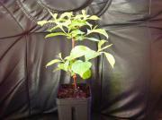 Pflanze: Weigela Hybr.