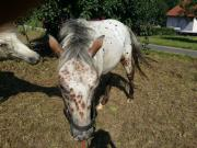 Pony of america