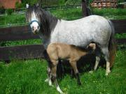 Pony Welsh B