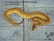 Python Regius 0.