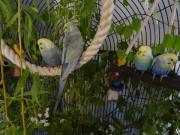 Rainbow Nestjunge Wellensittiche