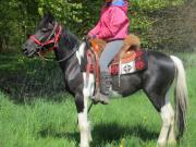 Rappschecke -Pintowallach - Freizeitpferd