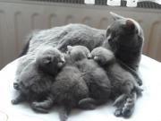 Reinrassige BKH Kitten (