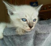Reinrassige Siam Kitten