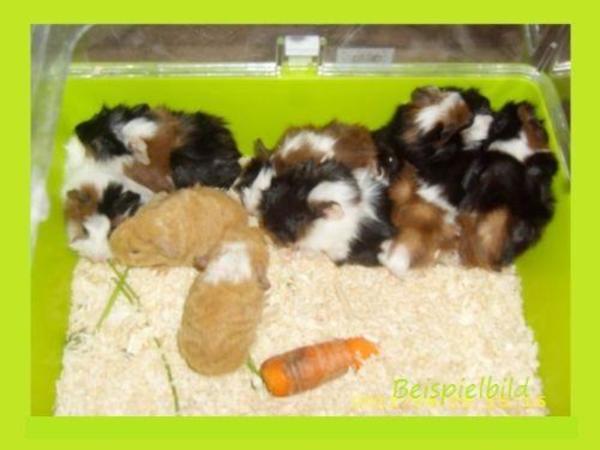 rosetten meerschweinchen babys in berlin sonstige. Black Bedroom Furniture Sets. Home Design Ideas