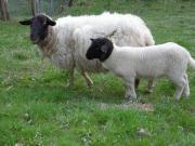 Schafe verkaufen