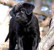 Sehr süße Labrador