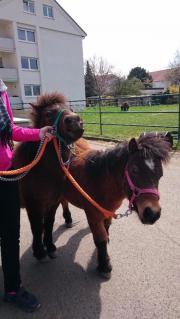 shetland pony pferde kaufen verkaufen auf. Black Bedroom Furniture Sets. Home Design Ideas