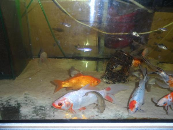 Shubunkin koi und weitere teichfische for Teichfische shubunkin
