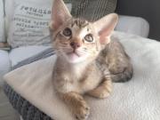 Siam, OKH, Kitten,