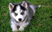 Siberian Huskywelpen suchen