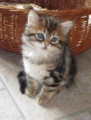 Sibirische Kitten aus