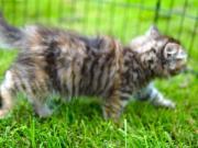 Sibirische / Neva Katzenmädchen
