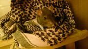 Suche Ratte