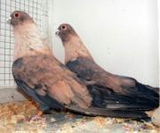 Suche Tauben