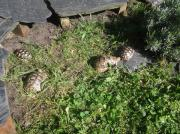 verschiedene griechische Landschildkröten