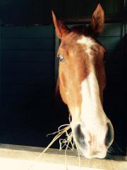 Wallach als Beistellpferd