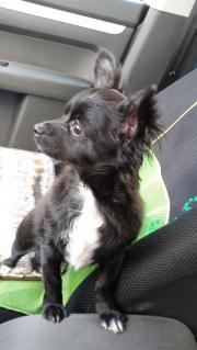 Wunderschöne Chihuahua Rüde