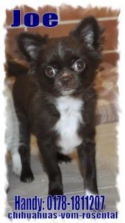 Wunderschöne Chihuahua Welpen