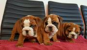 Wunderschöne Englische Bulldogge -