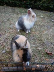 2 Löwenkopf Kaninchen