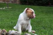 Ameican Bulldog Welpen