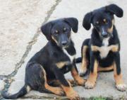 Appenzeller Mischlinge, Hunde